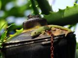 Tiki Gecko