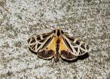 anna tiger moth (grammia anna)