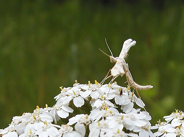 Emmelina monodactyla  (plume moth) {Pterophoridae}