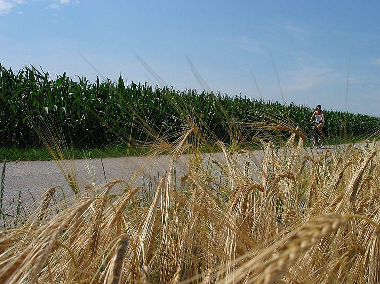 Mais mit Radfahrer