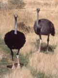 074 Ostriches.jpg