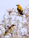 075 Golden Oriole.jpg