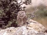 078 Little Owl.jpg