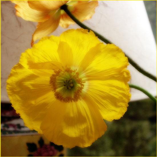 Poppy soft focus2