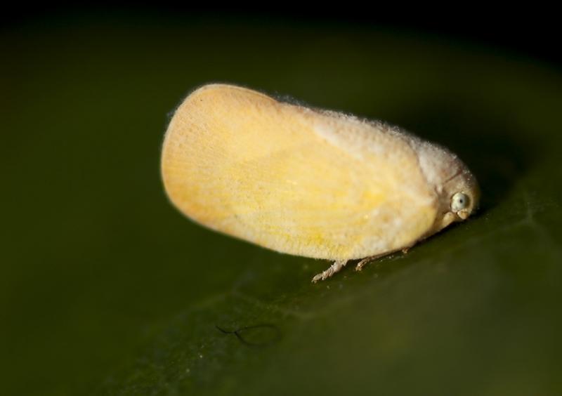 Flatid plant hopper