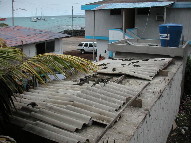 Marine iguanas on the rooftops