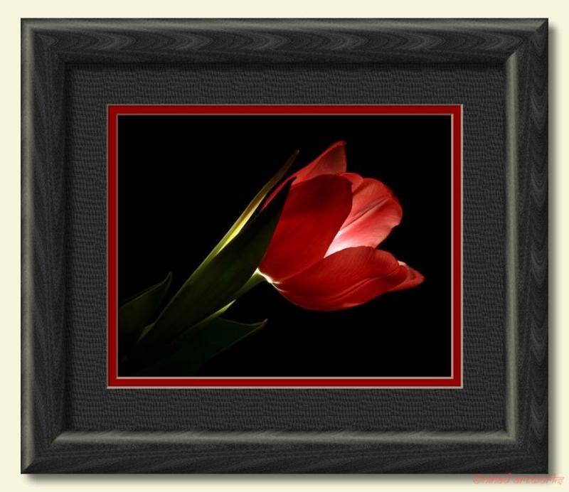 Radiant Tulip