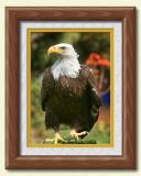 bald eagle full front
