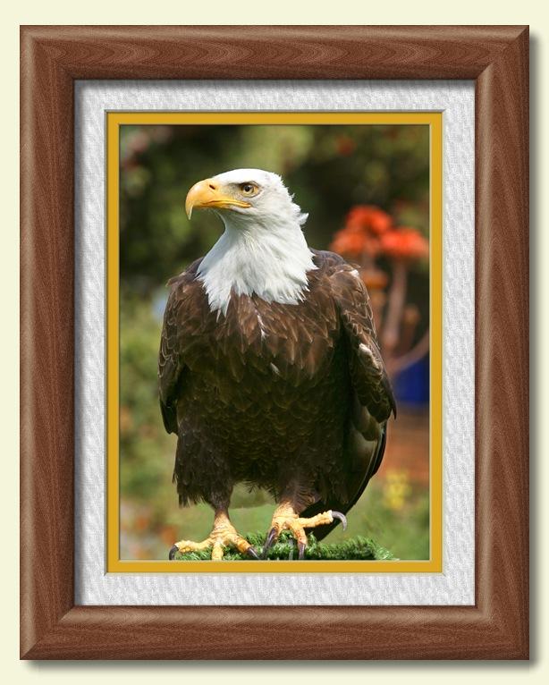 bald eagle full front