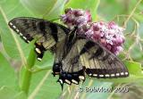 Eastern Tiger Swallowtail-Intermediate Dark FemalePapilio glaucus