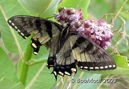 <h5><big>Eastern Tiger Swallowtail-Intermediate Dark Female<br></big><em>Papilio glaucus</h5></em><BR>