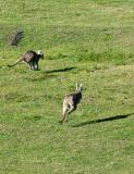 Roos jumping