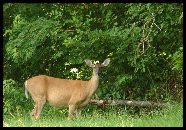 doe-a-deer.jpg