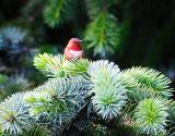 Male Hummingbird.jpg