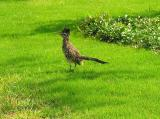 Roadrunner that has been hanging around our yard