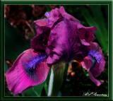 PurpleIris.jpg
