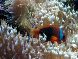 Clown Fish resting in stinging sea anenome