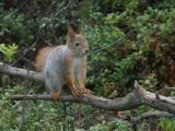 Squirrel - Egern