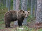 Brown Bear - Brun-Bjørn.