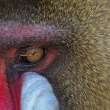 male mandrill 04 detail
