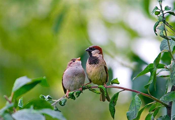 House Sparrow With Chick