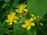 Hypericum prolificum (St Johns Wort)