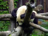 11807 zoo Panda