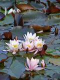 Sea-roses