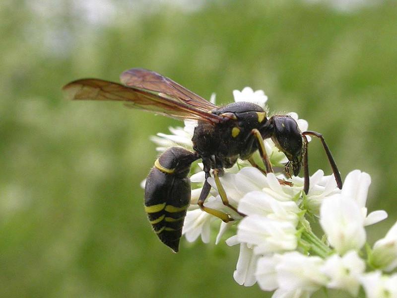 Mason wasp, probably <i>Ancistrocerus antilope</i>
