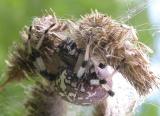 Araneus trifolium (?)