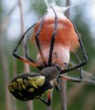 argiope-aurantia 1 -- building nest
