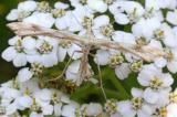 Pterophoridae (Plume moth) -- Gillmeria pallidactyla