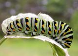 5th instar of a Black Swallowtail -- Papilio polyxenes