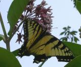 Tiger Swallowtail -- from MPPP