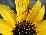 Ant Daisy
