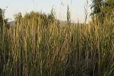 Tall-reeds.jpg