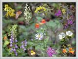 Late Summer Wildflower Composite ~ 2003