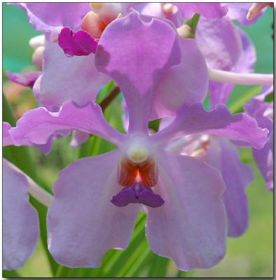 Orchid 33