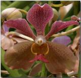 Orchid 25 - Vanda Roberta Chua