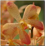 Orchid 28 - Mokara Walter Oume Yellow