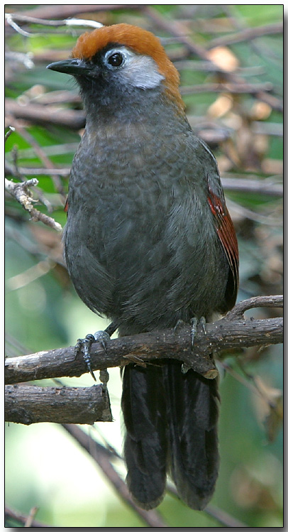 Red-tailed Laughing Thrush