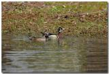 Our Wood Ducks