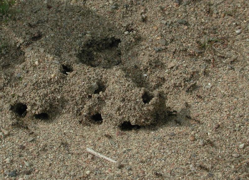 Lasius-niger-nest.jpg