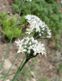 Garlic Chives with Wasp and Aphids