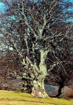 Hêtre en hiver