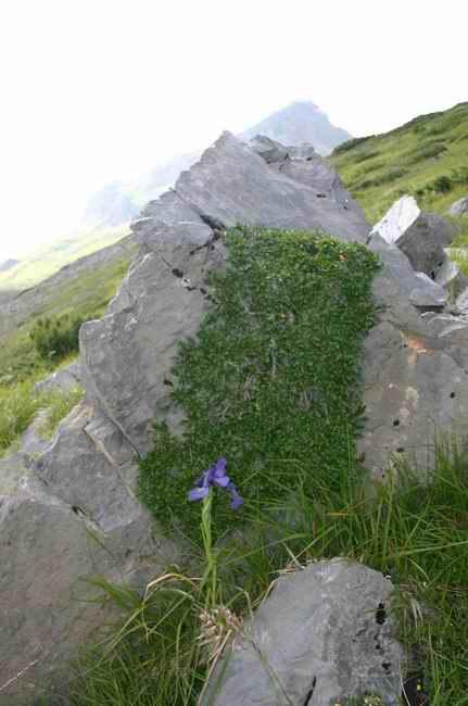 Saule nain daltitude - Herbaceous willow