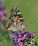 Painted Lady (side view)
