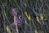 Grass Rabbit