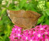 Dead Leaf Butterfly
