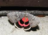 Sleepy Underwing (Catocala concumbens)